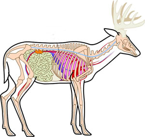 Deer anatomy ccuart Choice Image