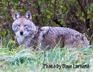 The Eastern Coyote