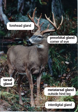 Deer Glands Pic